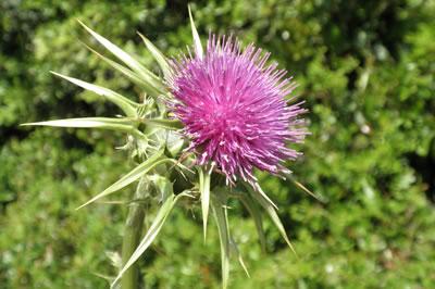 Milk thistle british herbal medicine association