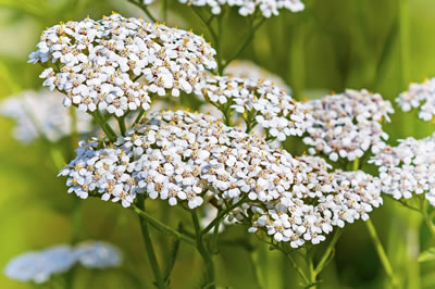 yarrow-herb-400x266